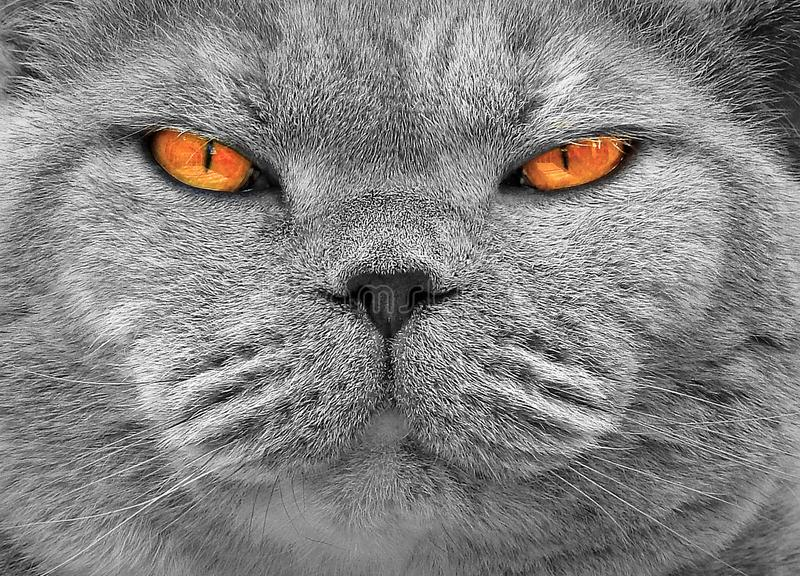 Pedigree cat with the orange eyes. Photo of a beautiful pedigree british shorthair cat with gorgeous orange eyes stock image