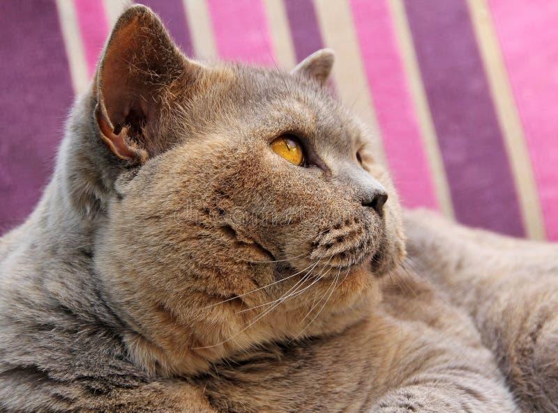 Pedigree cat side profile stock photo