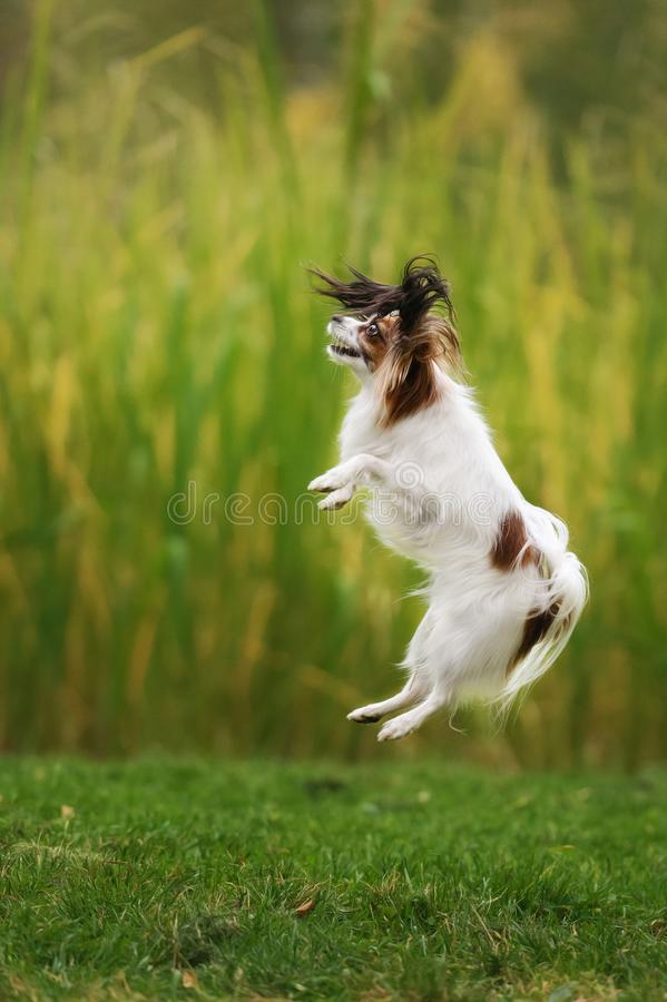Pedigree continental toy spaniel stock images