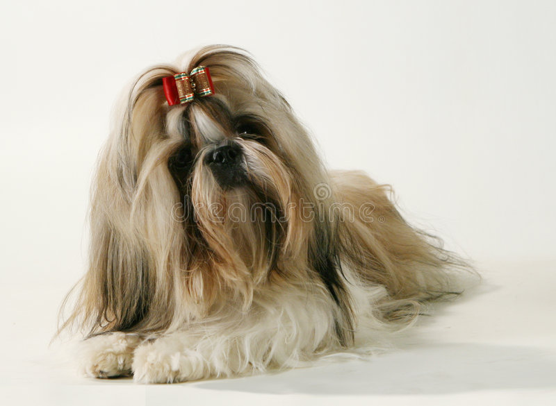 A pedigree dog stock photos