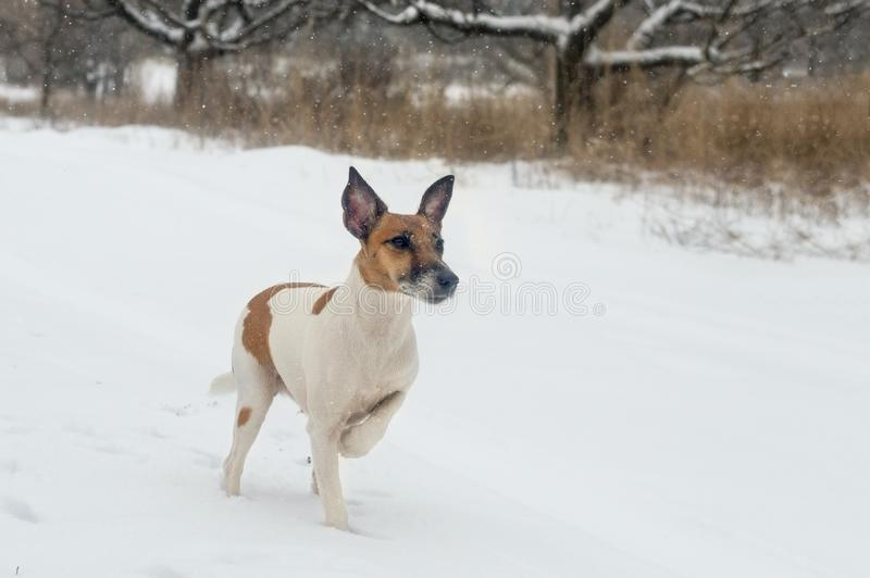 A pedigree dog fox terrier in the winter forest on a hunt, in a. Rack royalty free stock photos