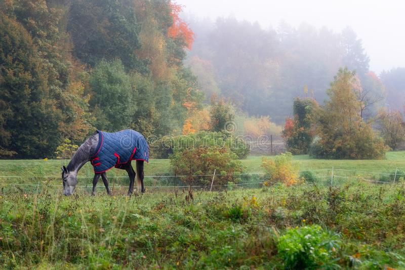Pedigree horse with coat eating grass, surrounded by foggy autumn trees and nature stock images