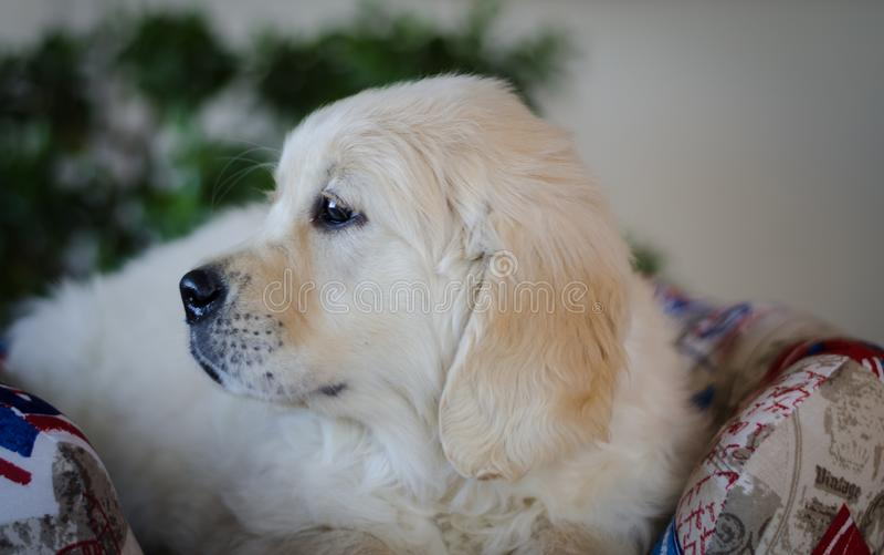 Pedigree hundvalp fotografering för bildbyråer