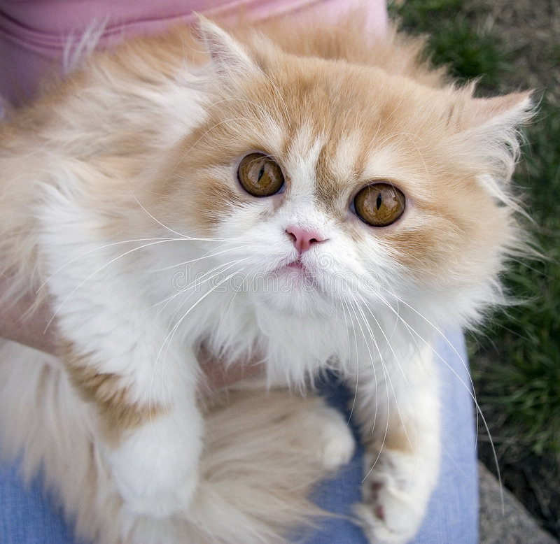 Download Pedigree Persian Cream Cat Outdoors Stock Image - Image: 5339253