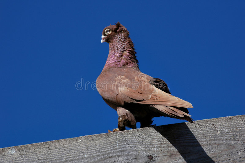 Download Pedigree pigeons1 stock photo. Image of crest, noble, paws - 2985192