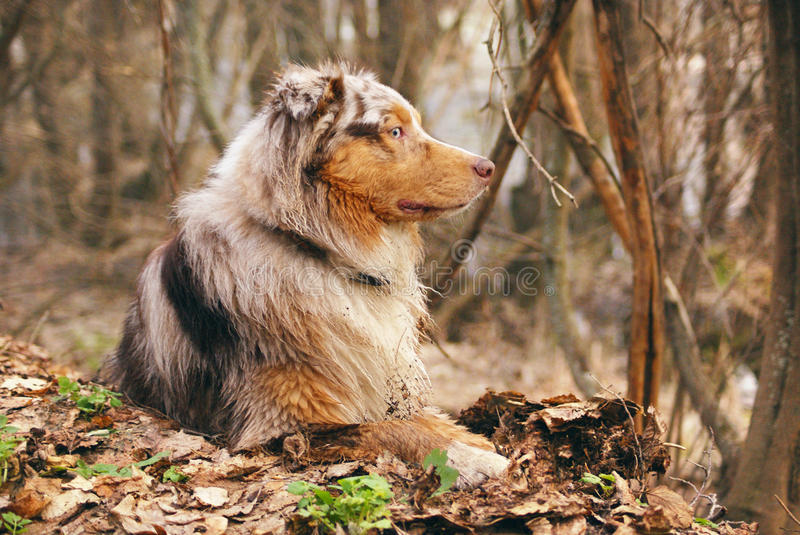 Pedigree stately dog walks in the woods stock photo