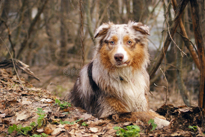 Pedigree stately dog walks in the woods stock images
