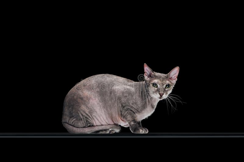 Pedigreed domestic grey sphynx cat looking at camera. Isolated on black stock photo