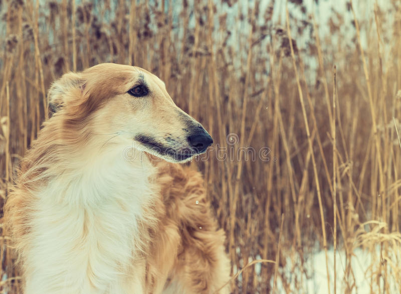 Pedigreed Wolfhound Russian borzoi breed dog. stock images