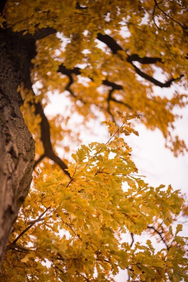 pedir árvore galho folhas amarelas bokein fundo ao ar livre dia do outono luz solar imagens de stock royalty free