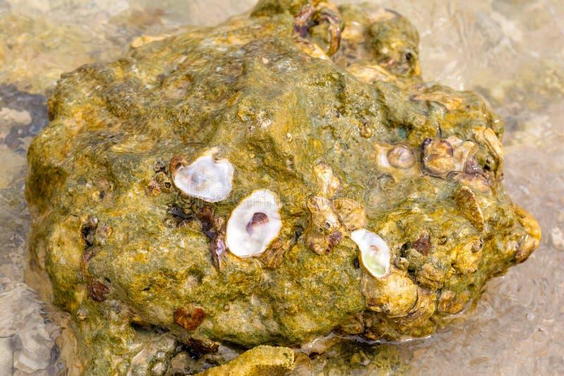 Pedra do mar na areia coberta com a praia tropical do projeto do fundo da vida do oceano dos escudos da alga fotos de stock