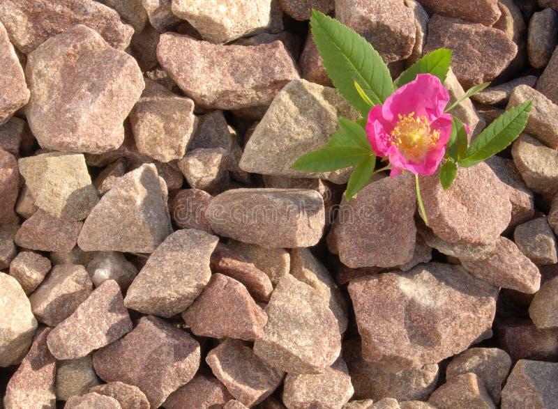 A Pedra E Levantou-se Imagens de Stock