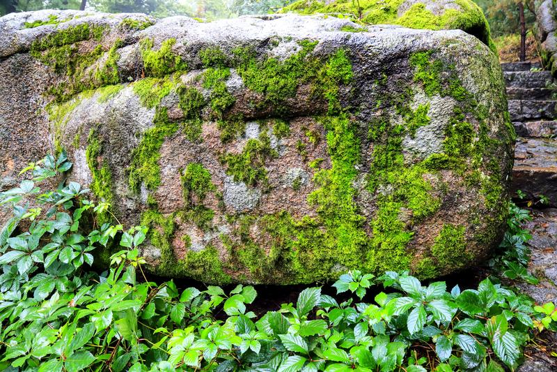 Pedra na floresta, coberto de vegetação com o musgo e as uvas selvagens imagem de stock
