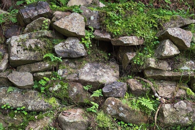 Pedras velhas com musgo e as plantas verdes samambaia da floresta, trevo entre eles fotografia de stock royalty free