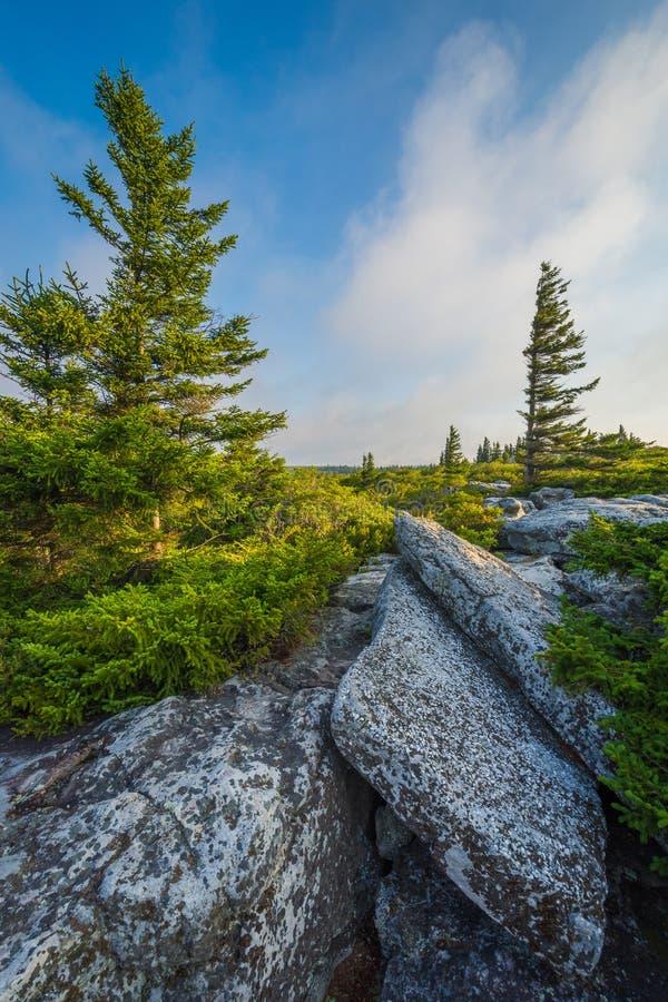 Pedregulhos e pinheiros na conserva das rochas do urso, em Dolly Sods Wilderness, floresta nacional de Monongahela, West Virginia foto de stock royalty free