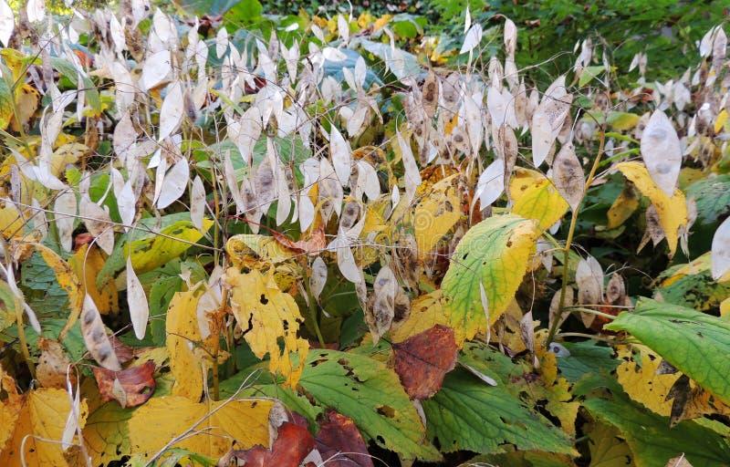 Peduncle met de vruchten van Lunaria-rediviva royalty-vrije stock afbeelding