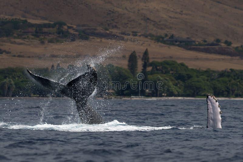 Peduncle van de gebocheldewalvis werpt dichtbij Lahaina in Hawaï royalty-vrije stock fotografie