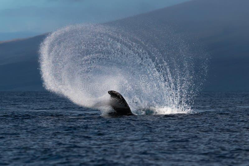 Peduncle van de gebocheldewalvis werpt dichtbij Lahaina in Hawaï royalty-vrije stock afbeelding
