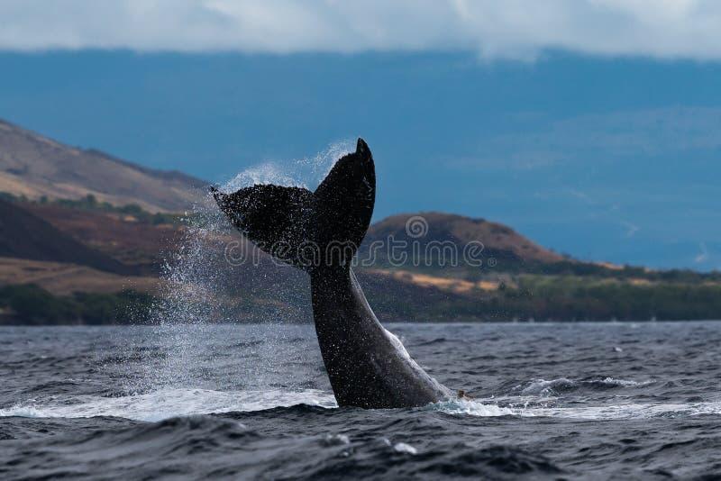 Peduncle van de gebocheldewalvis werpt royalty-vrije stock afbeelding
