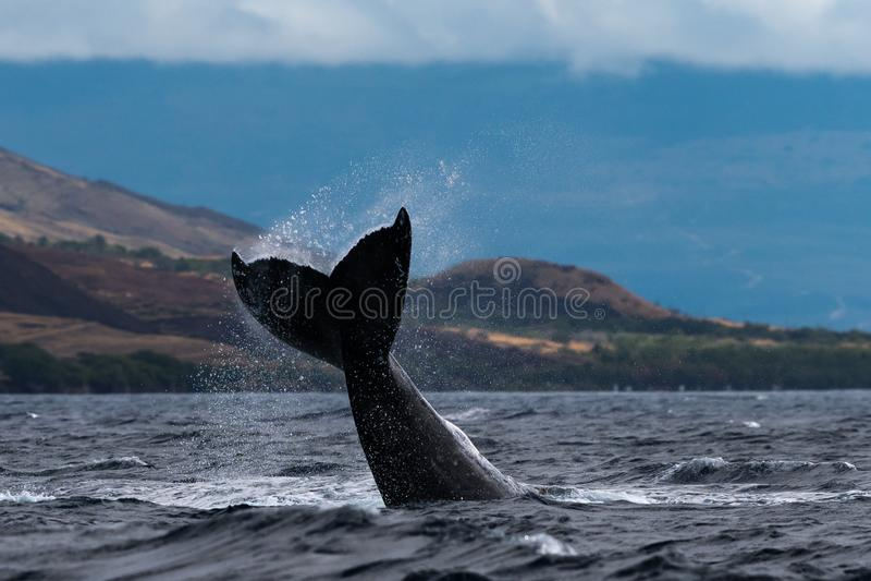 Peduncle van de gebocheldewalvis werpt stock foto's