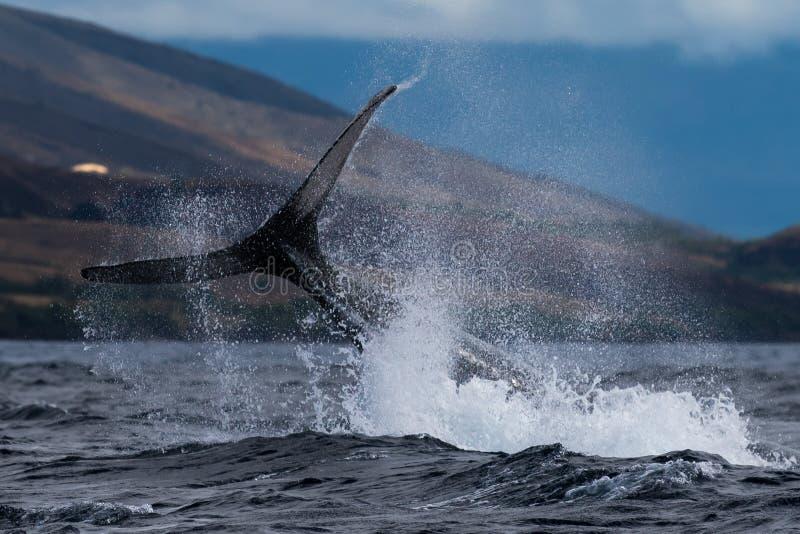 Peduncle van de gebocheldewalvis werpt stock foto