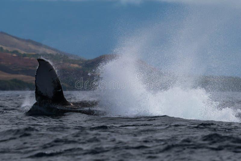 Peduncle van de gebocheldewalvis werpt stock afbeeldingen