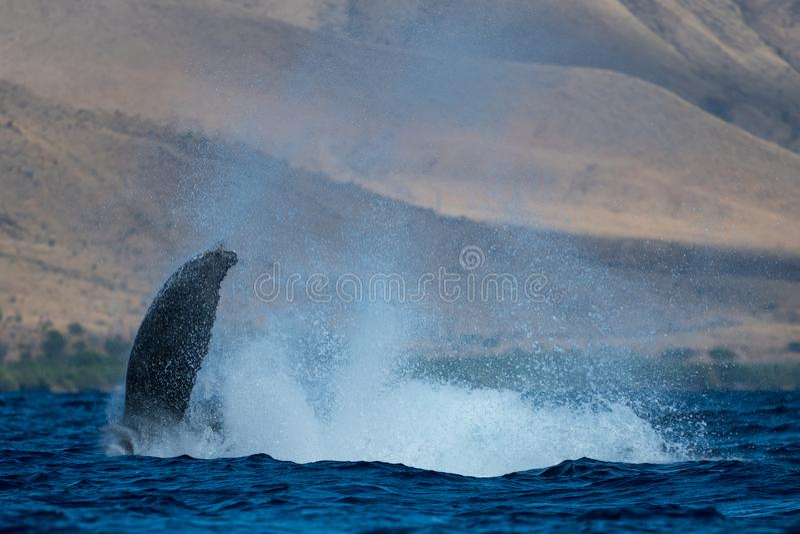 Peduncle van de gebocheldewalvis werpt royalty-vrije stock afbeeldingen