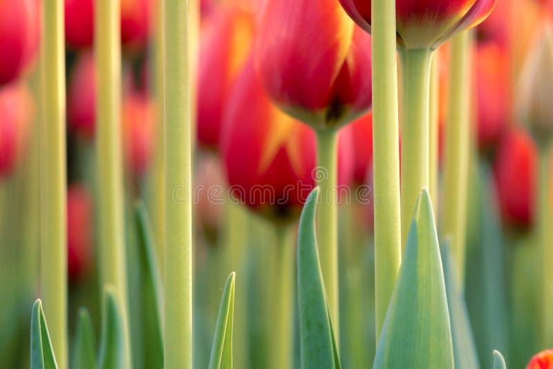 Peduncle van de tulp stock afbeelding