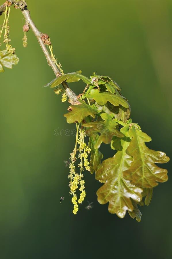 Pedunculate Eiche mit Gall Wasp stockbild