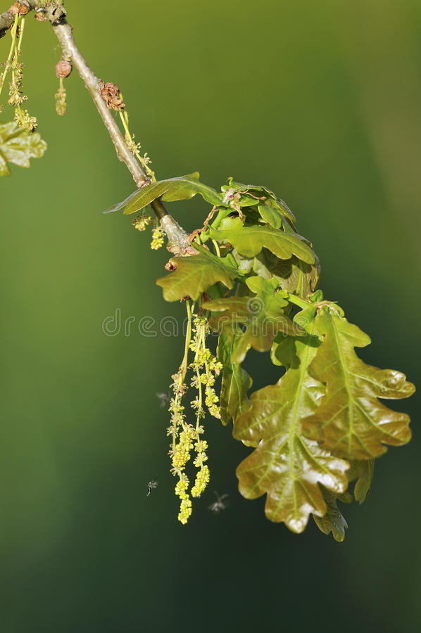 Pedunculate Oak with Gall Wasp. Pedunculate English Oak - Quercus robur New leaves with Catkins and gall wasp stock image