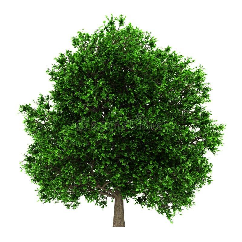 Pedunculate oak tree isolated on white