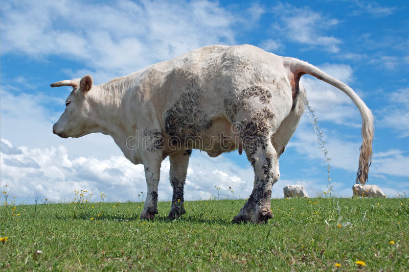 Peeing cow stock photography