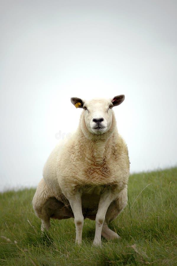 Peeing Sheep royalty free stock images