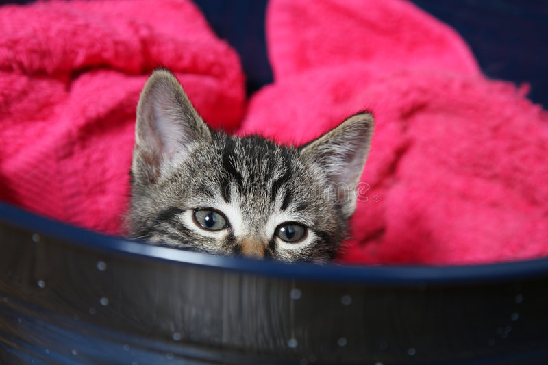 Peek. A curious little tabby kitten peeks over the side of his bed royalty free stock image