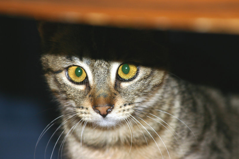 Download Peek-a-boo stock photo. Image of softness, hide, meow, breed - 119258