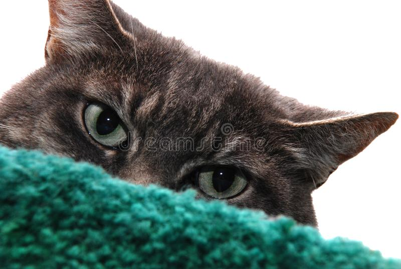 Download Peek A Boo stock photo. Image of feline, close, hairy - 3099120