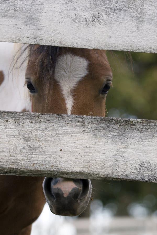 Peek-A-Boo. Curious pony peeking through a white fence stock photos