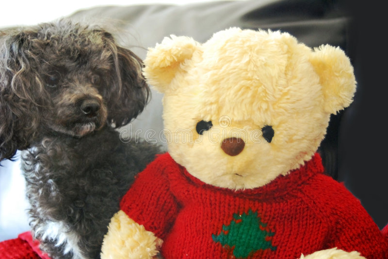 Peek A Boo. Poodle and teddy bear playing peek a boo stock photos