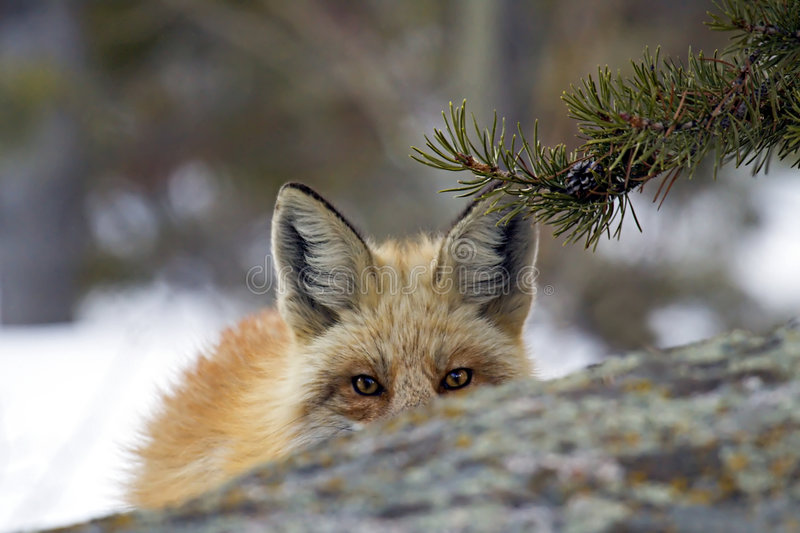 Peek A Boo. A startled Red Fox that was caught napping takes a peek to see what disturbed it from its dreams royalty free stock image