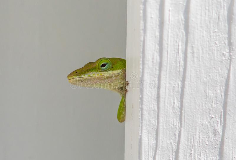 Peek-a-boo Anole Lizard. An anole lizard peering out from behind a fence slat royalty free stock image