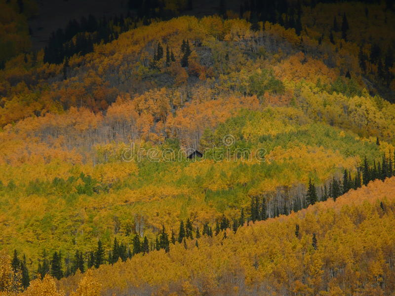Peek-a-boo cabin hiding in golden aspen grove. Log cabin in middle of gold and green aspen grove on mountain side in Colorado in the fall royalty free stock photos