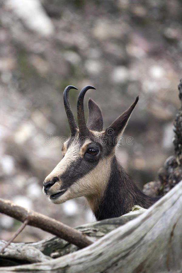 Peek-a-boo Chamois in their natural environment stock images