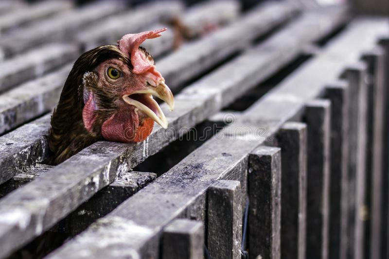 Peek A Boo of the Chicken. A street photo of a roast chicken which peek from the inside of the cage royalty free stock image