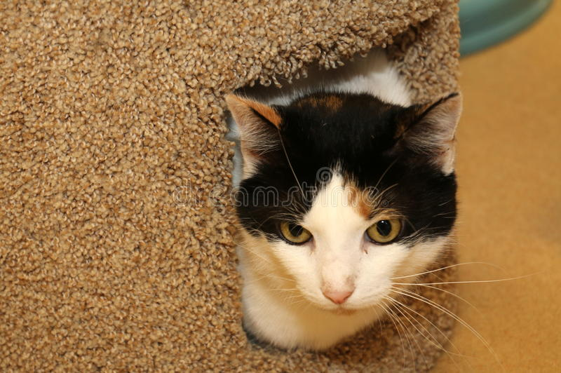 Peek a boo. This colorful cat was playing peek a boo stock photo