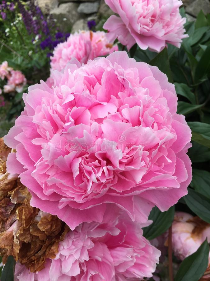 Peek-a-Boo cotton candy pink peonies stock photo
