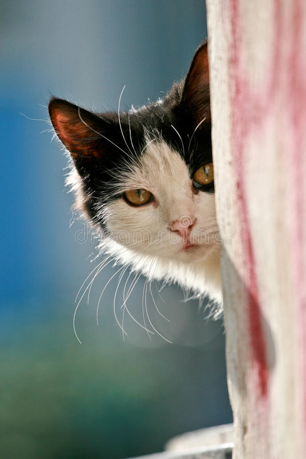 Peek a boo. Curious black and white cat peeking from around a corner stock image