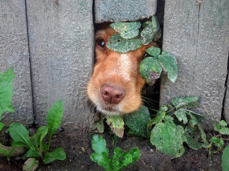 Peek-a-boo dog. Cute Dog That Put Their Nose Through Hole in Fence stock photo