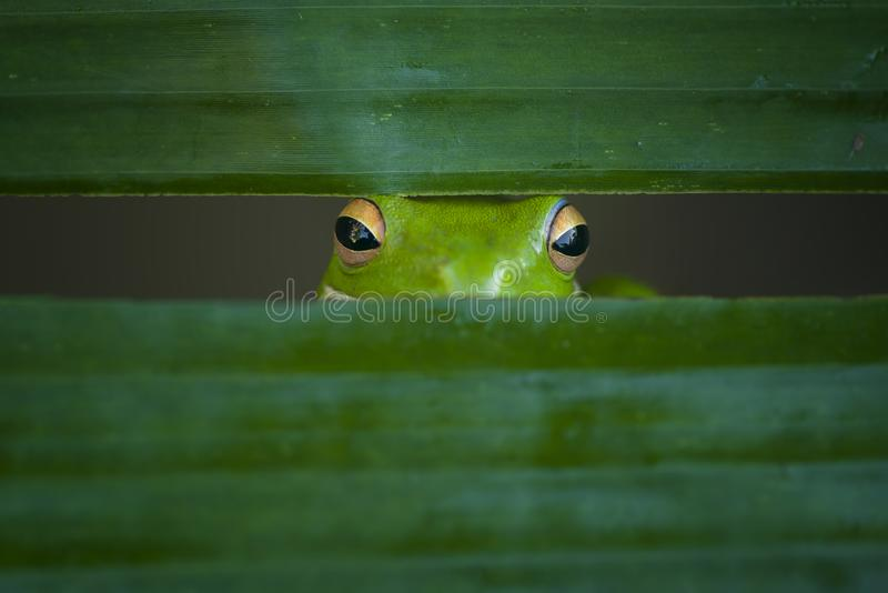 Peek a Boo. Frog peek behind in banana leaf royalty free stock photo
