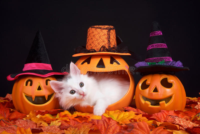 Peek a boo Halloween Kitten. Fluffy white kitten peeking out of a pumpkin jack o lantern, two smiling jack o lanterns wearing witch hats on both sides. Fall royalty free stock photography