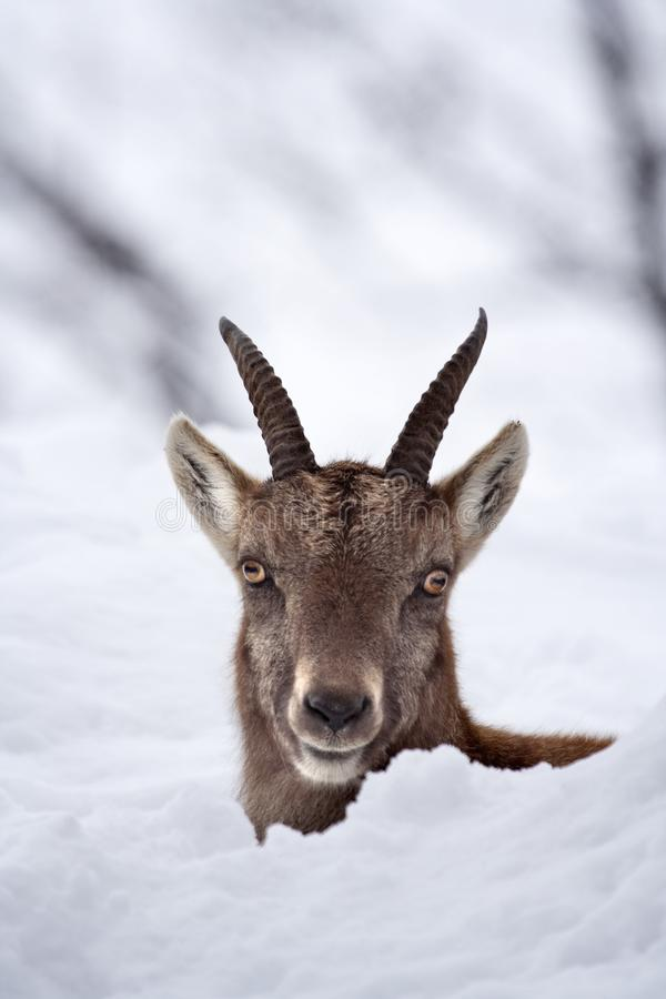 Download Peek-a-boo Juvenile Alpine Ibex In The Snow Stock Image - Image of snow, cold: 10112147